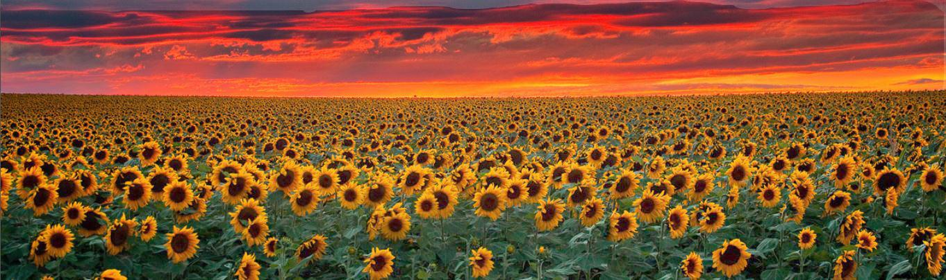 Hf sunflowers 2a