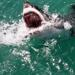 A great white shark breaching and biting for food.