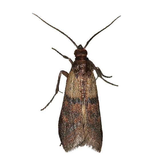 Household Pests: Household Pests Small Moths