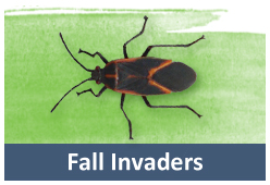 get rid of boxelder bugs lady bugs mice and cluster flies