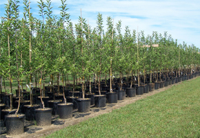 Tree Planting - Brock's Landscaping - 905.822.3131